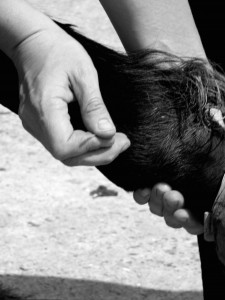 Julia places an acupuncture needle into a horse's fetlock
